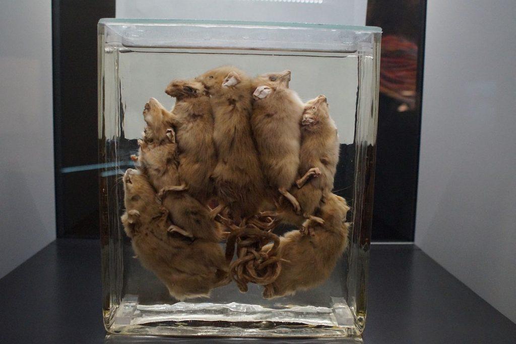 Ratten - Überträger der Pest Pest-Ausstellung Herne
